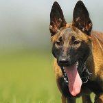 Správné krmení psa velkého plemene