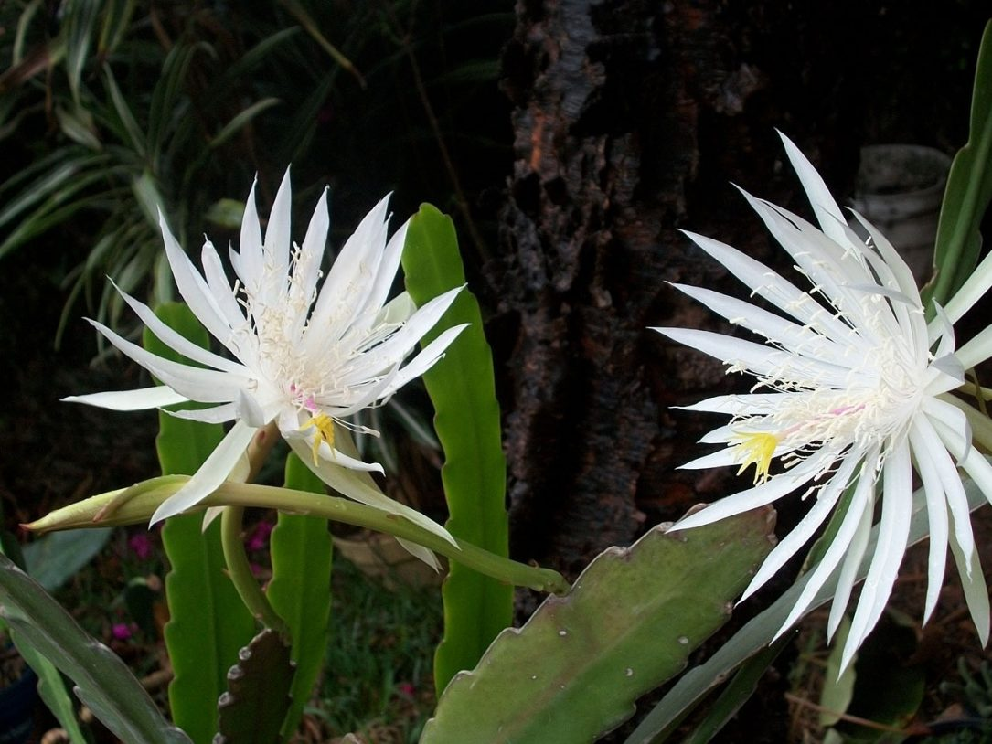 Night Blooming Cereus  - PublicDomainPictures / Pixabay